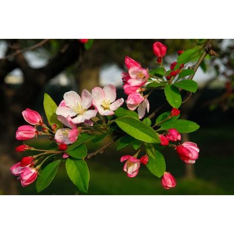 Herbalia Bach Bloesem CRAB APPLE NR 10