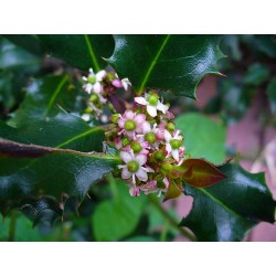 Herbalia Bach Bloesem HOLLY NR 15