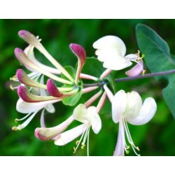 Bachbloesem HONEYSUCKLE 20 ml