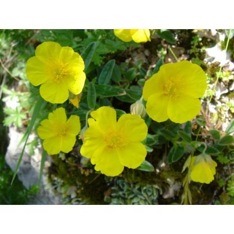 Herbalia Bach Bloesem ROCK ROSE NR 26