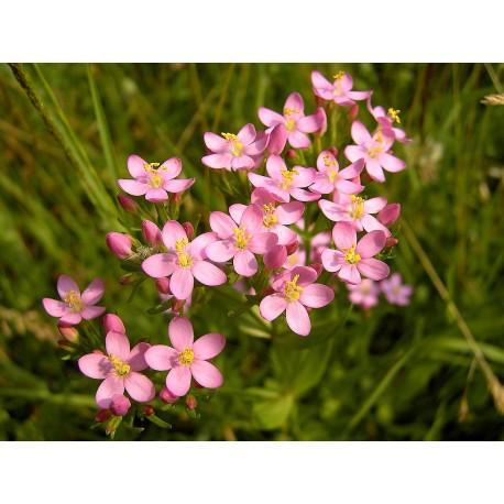 Herbalia Bach Bloesem CENTAURY NR 4
