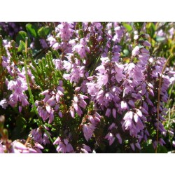 Bachbloesem HEATHER 20ml