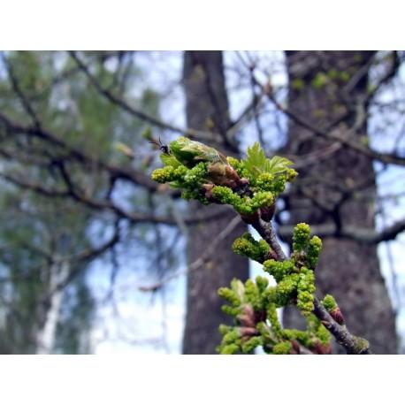 Herbalia Bach Bloesem OAK NR 22 20 ml