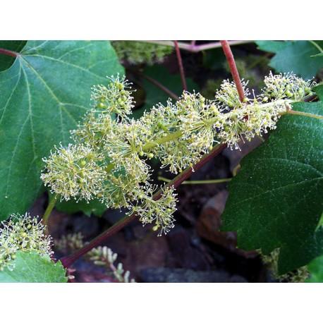 Herbalia Bach Bloesem VINE NR 32 20 ml