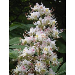 Bachbloesem WHITE CHESTNUT 20ml