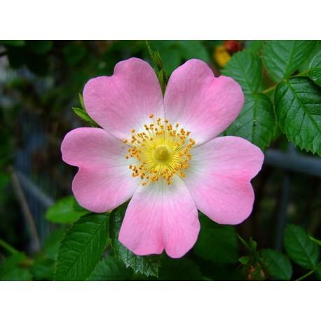Herbalia Bach Bloesem WILD ROSE NR 37 20ml