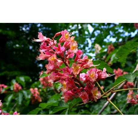 Herbalia Bach Bloesem RED CHESTNUT NR 25