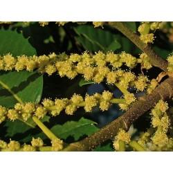 Herbalia Bach Bloesem SWEET CHESTNUT NR 30 20 ml