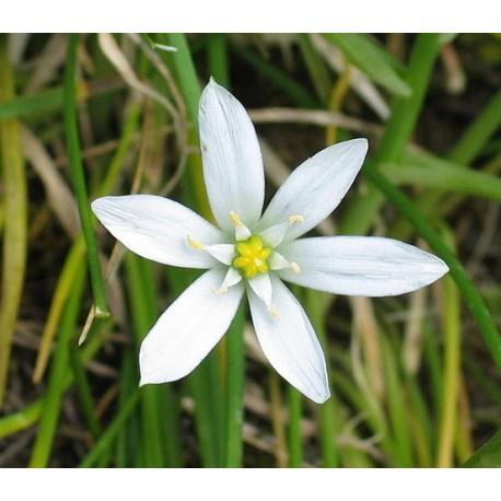 Herbalia Bach Bloesem STAR BETHLEHEM NR 29
