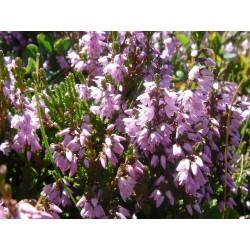 Herbalia Bach Bloesem HEATHER NR 14  20ml