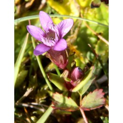 Herbalia Bach Bloesem GENTIAN NR 12