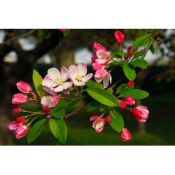 Herbalia Bach Bloesem CRAB APPLE NR 10