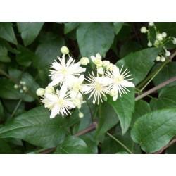 Herbalia Bach Bloesem CLEMATIS NR 9